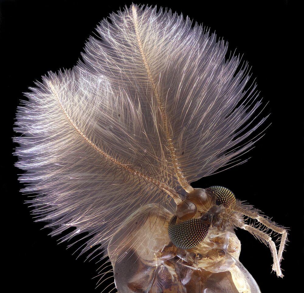 Yarışmada 4. sırada yer alan fotoğrafçı Jan Rosenboom'un 6 kat büyütülmüş bir sivri sinek görüntüsü.