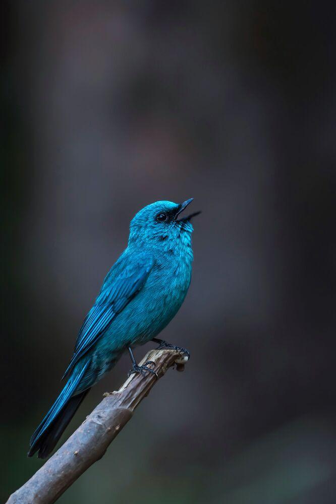 Hint'li yarışmacı Mitesh Patel'in güzelliğiyle büyüleyen Gökçe Sinekkapan türü kuş fotoğrafı.