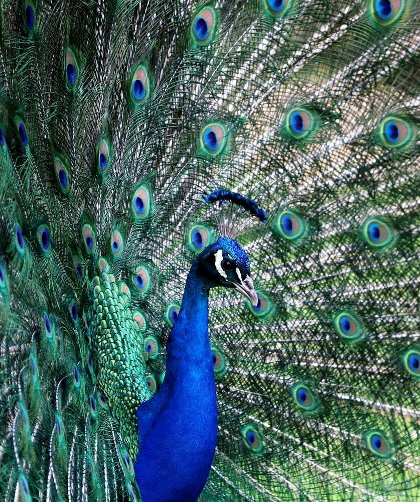 Alman fotoğrafçı Lindita Fanaj'ın tavuskuşu görüntüsü.