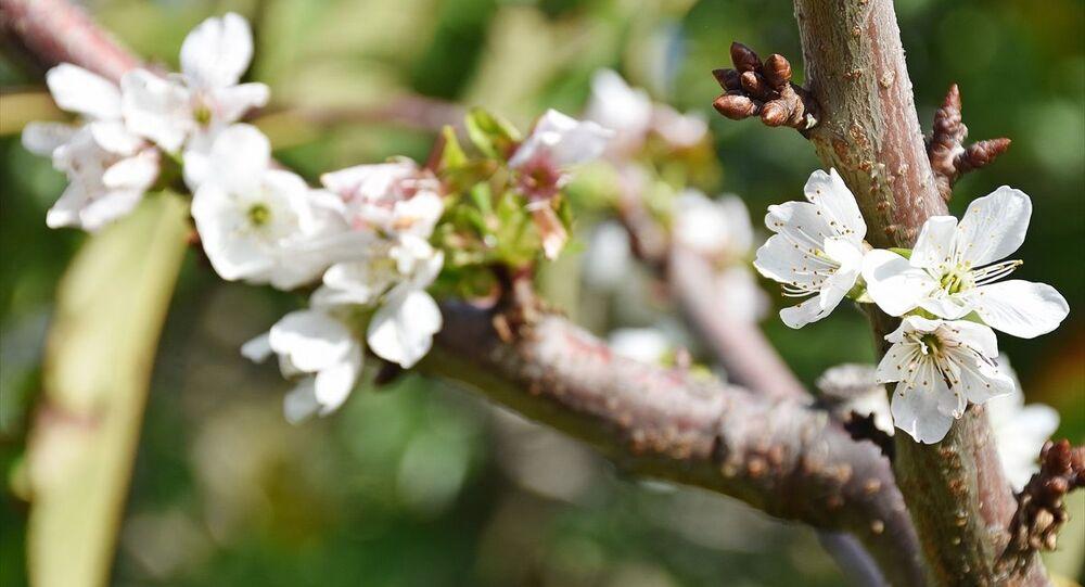 Manisa'nın Turgutlu ilçesinde, hava sıcaklıklarının mevsim normallerinin üzerinde seyretmesi kiraz ve erik ağaçlarının çiçek açmasına neden oldu. İlçeye bağlı Osmancık Mahallesi'nde Salim Çetin'e ait meyve bahçesinde bulunan kiraz ve erik ağaçları, havaların sıcak gitmesi üzerine tomurcuklandıktan sonra, çiçeklenip meyveye durdu.