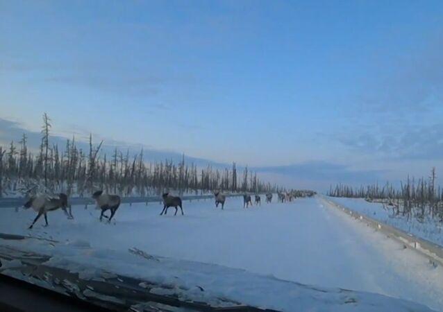 Bir sürücünün binlerce başlık geyik sürüsüne yol vermesi kameraya yansıdı