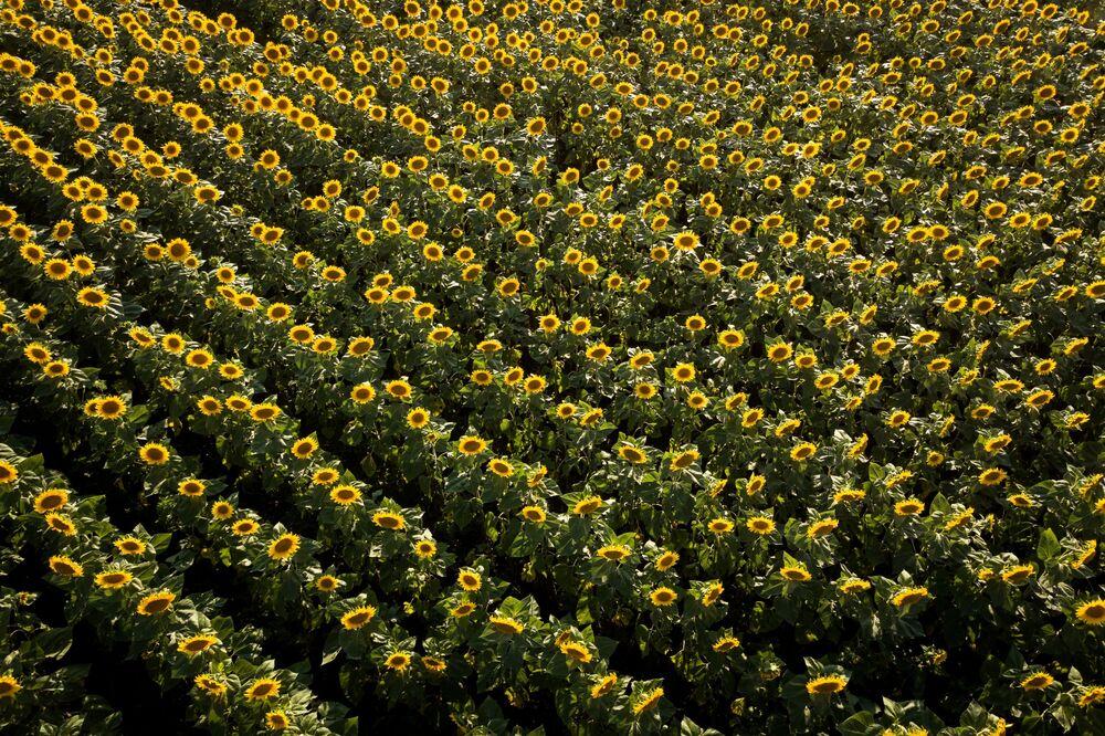 Rusya'nın Krasnodar bölgesindeki ayçiçeği tarlası.