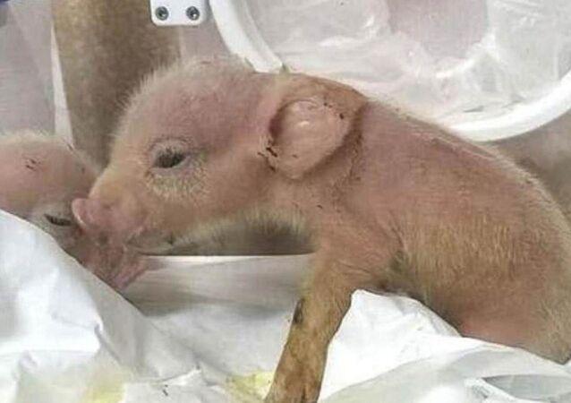 Çinli bilim insanları, maymun-domuz melezleri geliştirdi