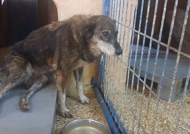 Silivri'de silahla vurularak yaralanan köpek felç oldu