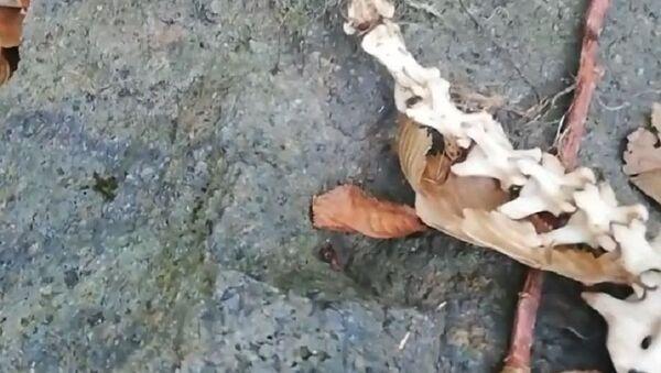 Trabzon'da bulunan hayvan iskeleti - Sputnik Türkiye