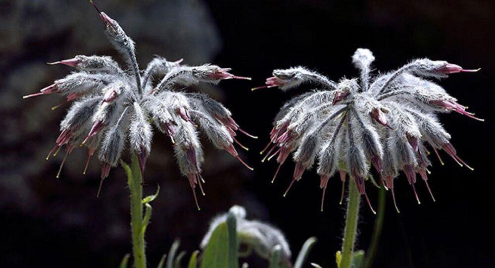 Dünyada sadece Denizli'de bulunan bir bitki türü keşfedildi - Denizli Yünlügelini