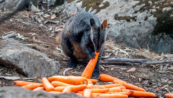 Avustralya yangınlarından en çok etkilenen eyalet olan Yeni Güney Galler'in Wollemi ve Yengo Ulusal Parklarına havadan atılan havuçları yiyen bir valabi - Sputnik Türkiye