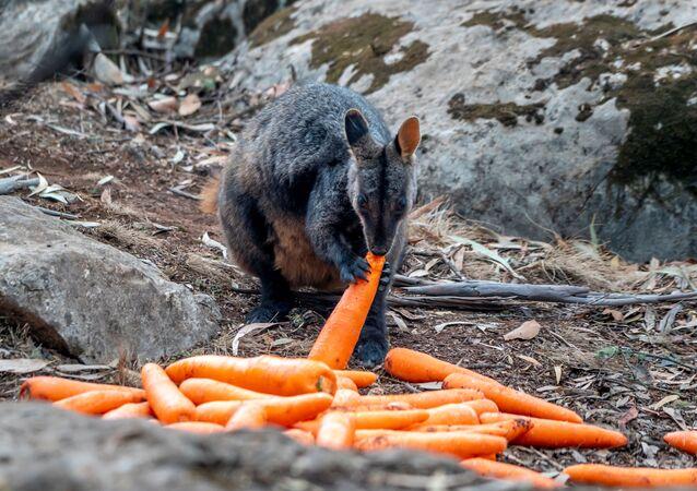 Avustralya yangınlarından en çok etkilenen eyalet olan Yeni Güney Galler'in Wollemi ve Yengo Ulusal Parklarına havadan atılan havuçları yiyen bir valabi