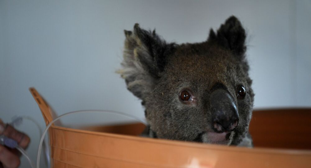 Avustralya'da yangından kurtarılan bir koala