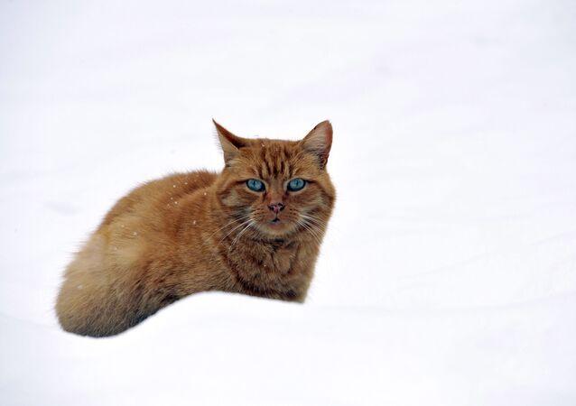 Fransa'nın ortasındaki Tourzel kentinde bu kış mevsiminde yaşanan ilk kar yağışının keyfini sürdüren bir kedi.