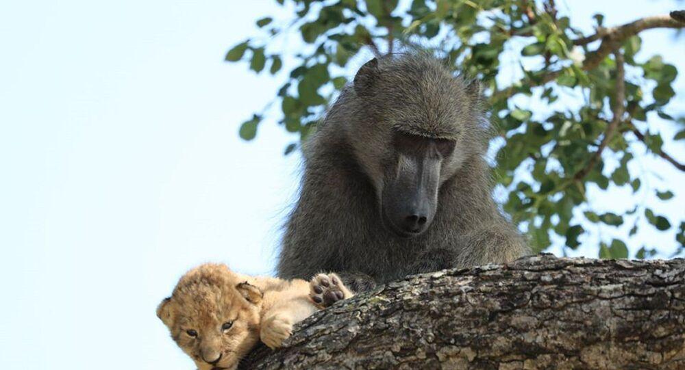 Babun ve aslan yavurusu