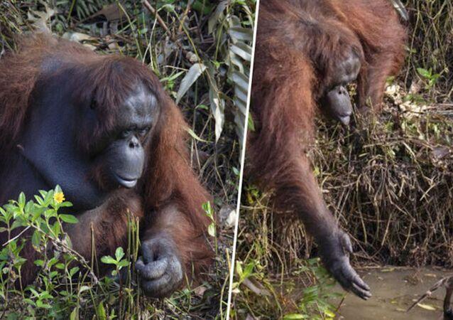 Orangutan, nehirde çalışan görevliye yardım eli uzattı