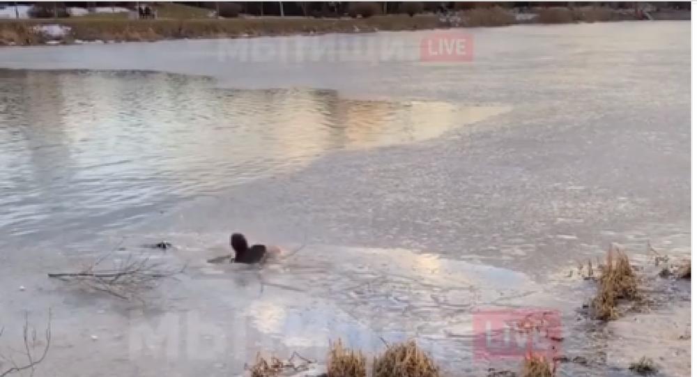Moskova Bölgesi'ndeki Mıtiş kentinde yaşayan üç çocuklu bir kadın, boğulmak üzere olan bir köpeği kurtarmak için buz tutmuş gölete girdi. Köpeğin kurtulduğu o anlar cep telefonuna kaydedildi.