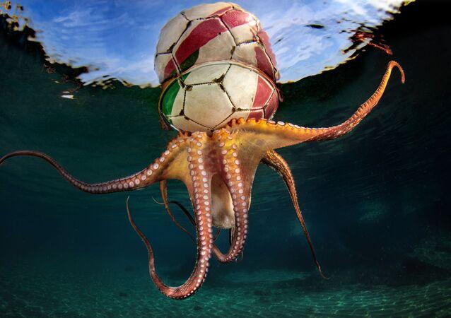 2020 Sualtı Fotoğrafçılığı Yarışması'nın Davranış kategorisinde birinci seçilen İtalyan fotoğrafçı Pasquale Vassallo'nun Octopus Training isimli çalışması.