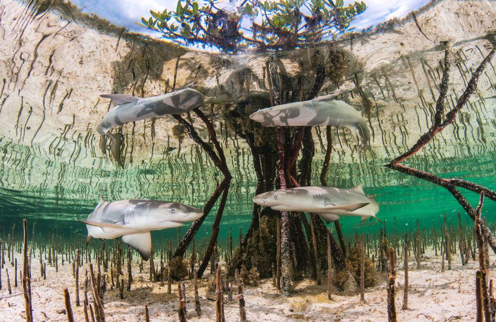 2020 Sualtı Fotoğrafçılığı Yarışması'nın Up & Coming kategorisinde birinci seçilen Bahamalar'dan Anita Kainrath'ın Lemon shark nursery çalışması.