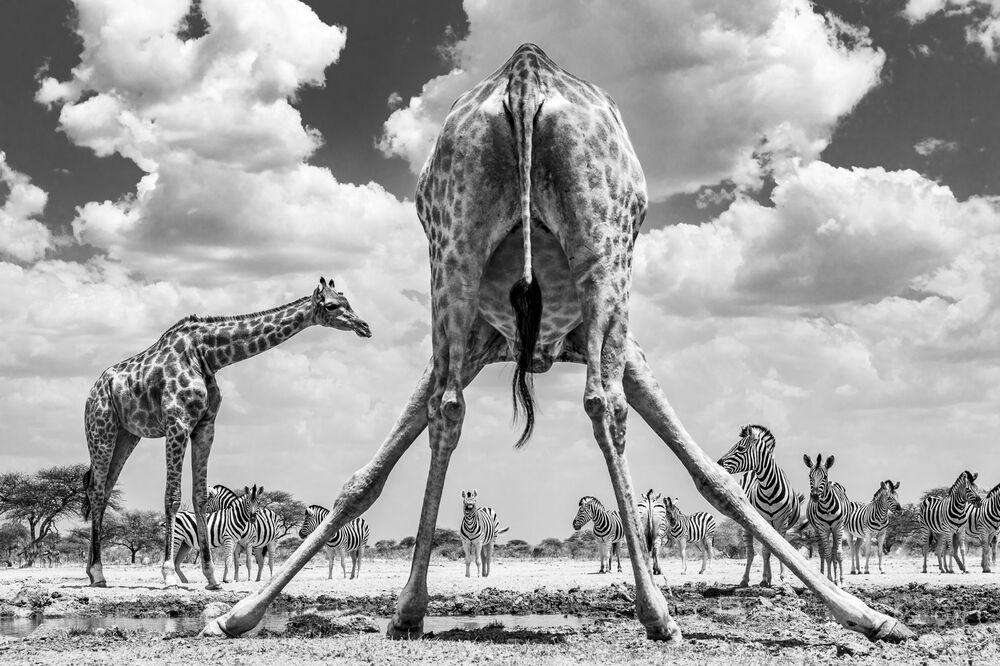2020 Sony Dünya Fotoğrafçılık Ödülleri'nde İsveç Ulusal Ödülü'nü kazanan Marcus Westberg'in fotoğrafı, Namibya'daki Etosha Ulusal Parkı'nda çekildi.