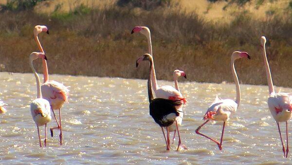 Siyah flamingo - Sputnik Türkiye
