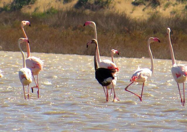 Siyah flamingo