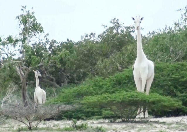 Şimdiye kadar Tanzanya ve Kenya'da görülen bu zürafaların beyaz olması, lösizm olarak adlandırılan genetik durumdan kaynaklanıyor.
