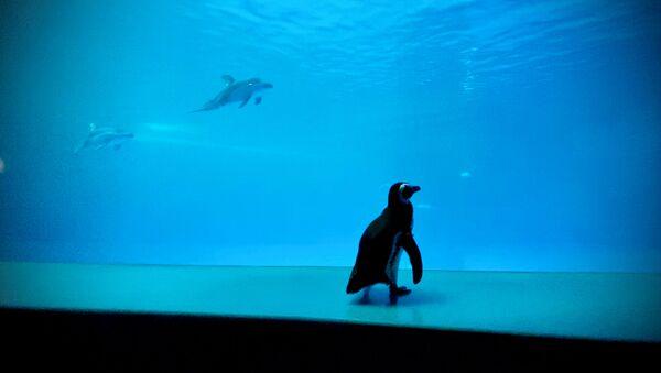 ABD'nin Chicago kentinde koronavirüs salgını nedeniyle kapalı bulunan Shedd Akvaryumu'nda penguenlerin serbestçe dolaşmasına izin verildi. - Sputnik Türkiye