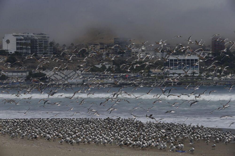 Koronavirüs nedeniyle hükümetin olağanüstü hal ilan ettiği Peru'nun Lima kentindeki Agua Dulce plajını dolduran yüzlerce kuş.