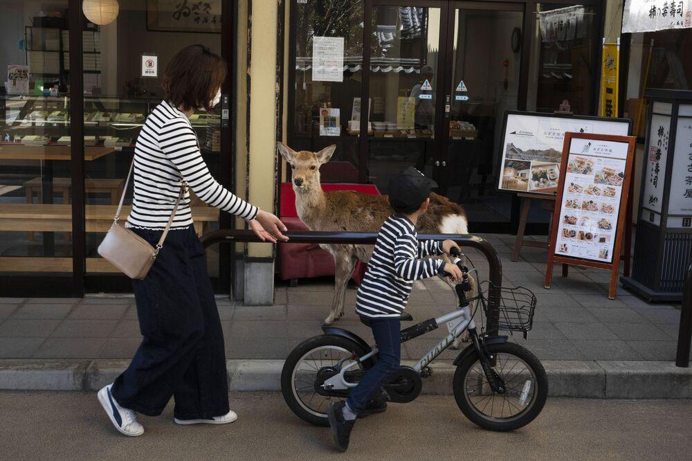 Japonya'daki Nara Parkı'nda son haftalarda ziyaretçi sayısının düşmesi sebebiyle orada yaşayan geyikler yiyecek bir şey bulmak için sokaklara dökülmeye başladı.