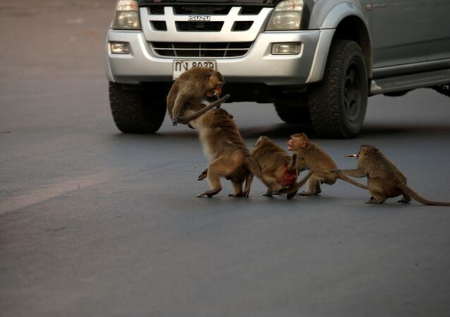 Tayland'ın Lopburi kentinde sokakta dolaşırken görüntülenen maymunlar.