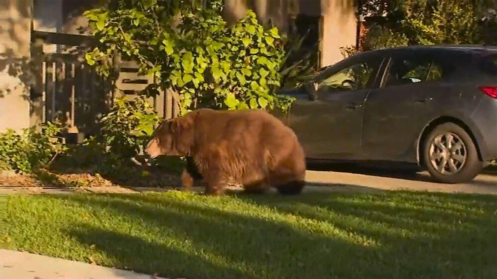 ABD'nin Kaliforniya kentinde görüntülenen boz ayı
