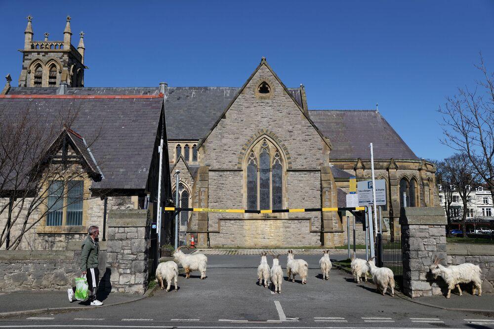 İngiltere'nin  Llandudno kasabasındaki  bir kilise avlusunda görüntülenen yabani keçiler.