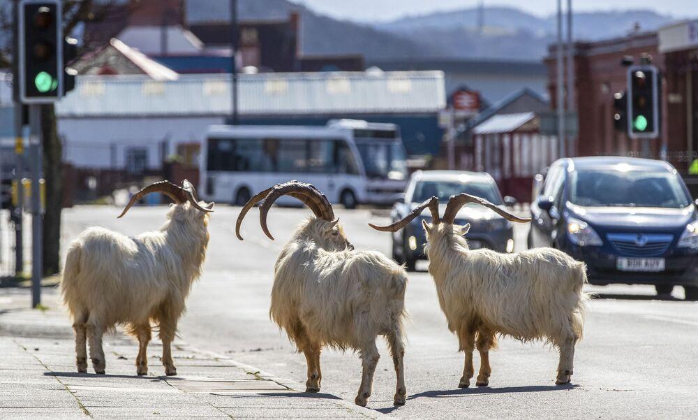 Yabani keçiler, İngiltere sokaklarında.
