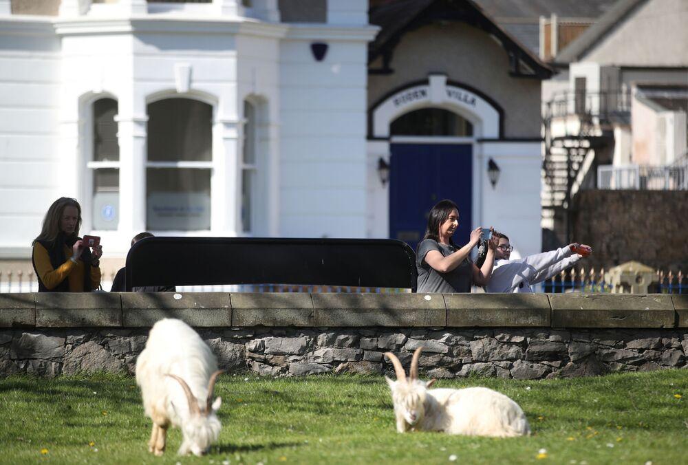 Kasaba sakinleri keçilerin sokaklarda dolaştığı anları kameraya alıp durumu sosyal medya hesaplarında paylaştı.