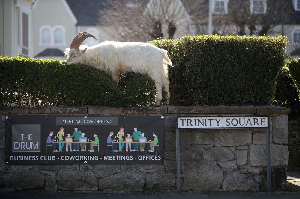 İngiltere'de boş kalan sokakları basan yabani keçilerden biri.