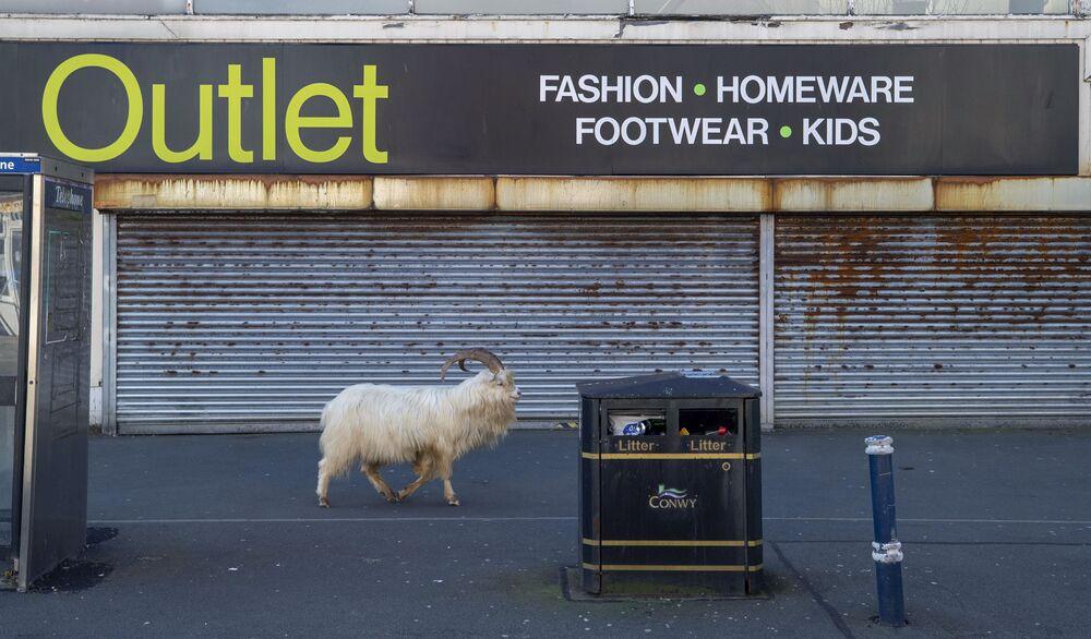 İngiltere'nin Llandudno kasabasında, koronavirüs nedeniyle boş kalan sokaklara yabani keçiler indi
