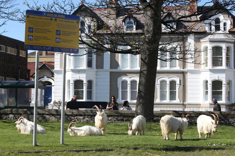Llandudno kasabasında görüntülenen yabani keçi sürüsü.