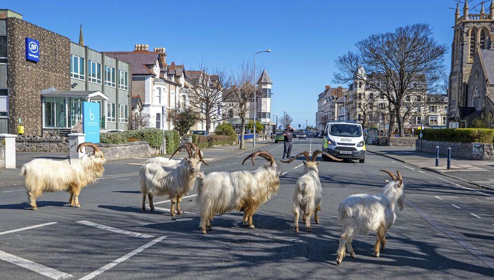 Birçok sosyal medya kullanıcısı ise keçilerin genellikle hava koşullarının kötü olduğu durumda Great Orme'den kasabaya geldiğini ancak bu sefer keçilerin, koronavirüs nedeniyle boş kalan kasabanın daha da iç kısmına doğru ilerlediğini belirtti.