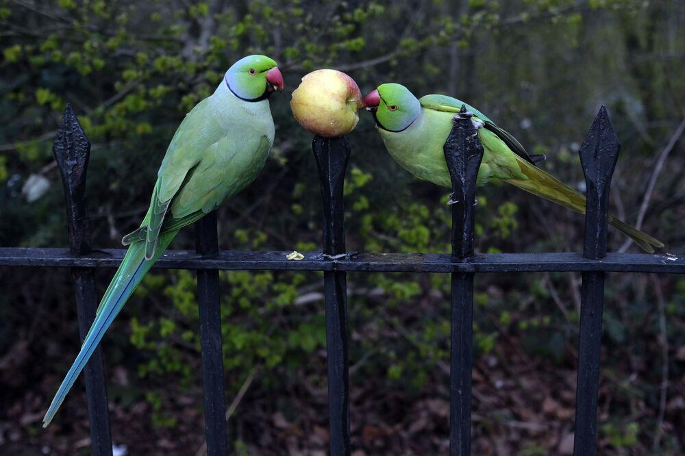İngiltere'nin başkenti Londra'daki bir parkta elma yiyen iki papağan.