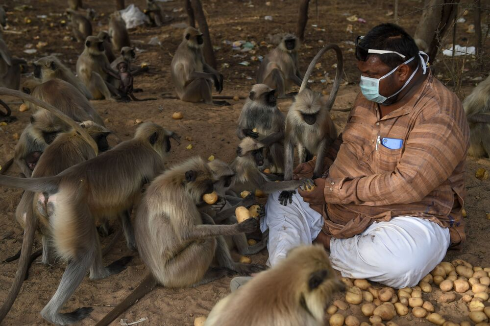 Hindistan'da bir adam maymunları patatesle besliyor