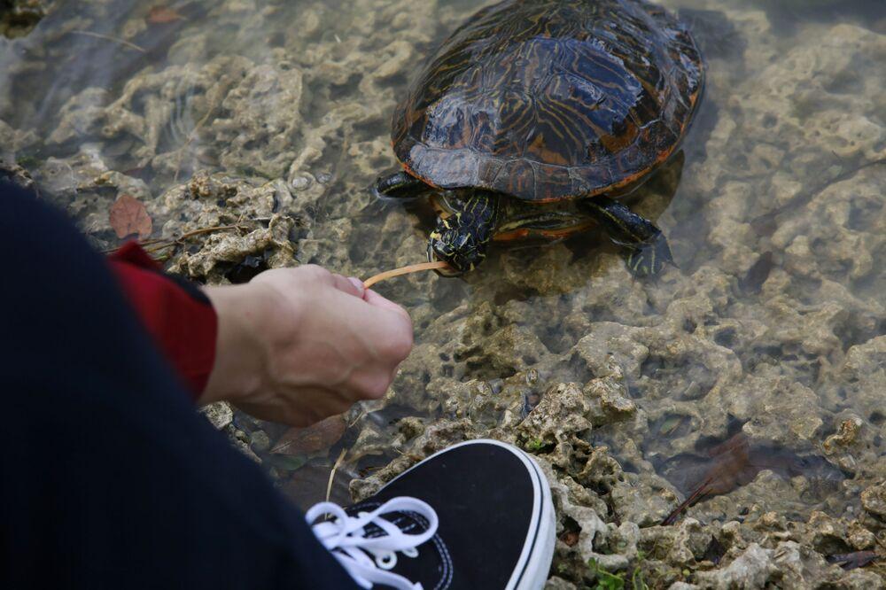 ABD'li bir adam, Miami'deki Florida Uluslararası Üniversitesi'ne ait göletteki bir kaplumbağa yem veriyor.