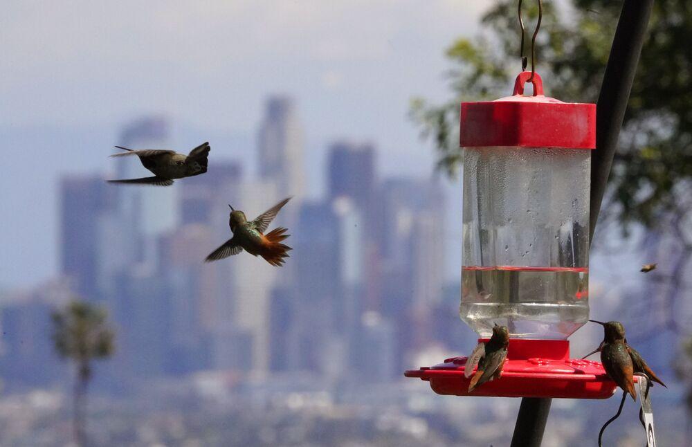 ABD'nin Los Angeles kentinde  sinek kuşları için bırakılan su kabı