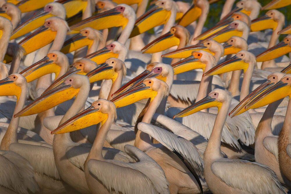 Ak pelikanların Afrika'dan kuzeye olan yolculukları bu yıl da baharla birlikte başladı. Bu göç yolculuğu üzerinde olan Marmara Bölgesi'nde sulak alanlar bu dev cüsseli kuşlarla doldu.