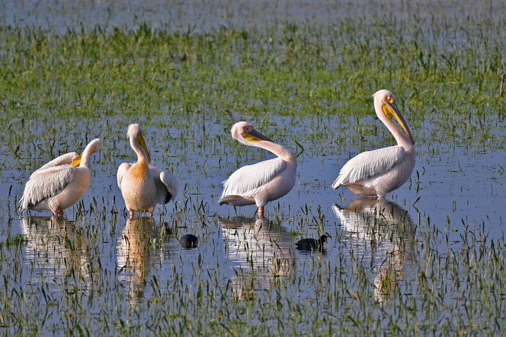 """Manyas Kuş Cenneti'nde büyük sürüyü fotoğraf ve videoya alan doğa fotoğrafçısı Ali Şenel """"Bu yıl balıkçılık ve avcılık faaliyeti olmayınca göl onlara kaldı. Daha çok ve rahat besleniyorlar'' dedi."""