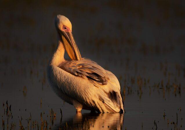 Ak pelikanlar kışı Afrika'da geçirdikten sonra baharla birlikte Romanya Tuna Nehri Deltası'na göç ediyorlar. Bu göç yolculuklarında ise Bursa'nın Karacabey ilçesindeki Uluabat Gölü ve Karacabey Longozu ile Uluabat ve Manyas Kuş Cenneti bu ve benzer su kuşları için büyük önem taşıyor. Bu nedenle her yıl 30 binden fazla ak pelikan ve on binlerce leylek bu güzergah üzerinden kuzeye olan yolculuklarını sürdürüyorlar.