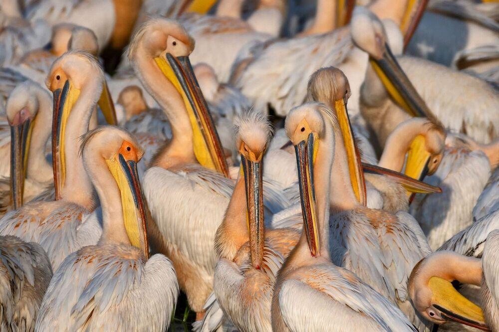 """Birkaç farklı grubu görüntüleme şansı elde ettiğini söyleyen Şenel, şöyle devam etti: """"Yaklaşık 500'erli gruplar halinde dinleniyorlar, beslenmeye çalışıyorlar, tüy bakımı yapıyorlardı. Bir iki gün Manyas Kuş Cenneti'nde beslendikten sonra göç yollarına devam edecekler. Normalde ülkemiz üzerinden yaklaşık 30 bin civarında ak pelikan her yıl göç ediyor. Afrika'dan Avrupa'ya geçen ak pelikanların neredeyse tamamını biz bu bölgede görüntüleyebiliyoruz. Bu yıl yine ak pelikanların kalabalıklar halinde göç etmesini görmek sevindirici. Koronavirüs sebebiyle avcıların, balıkçıların az olması kuşların daha iyi beslenmesi, göçlerini daha rahat yapmasını sağladı. Umarım sağlıklı şekilde göçlerini tamamlar, sonbaharda da dönüş yolunda onları görüntüleme şansı elde edebiliriz."""""""