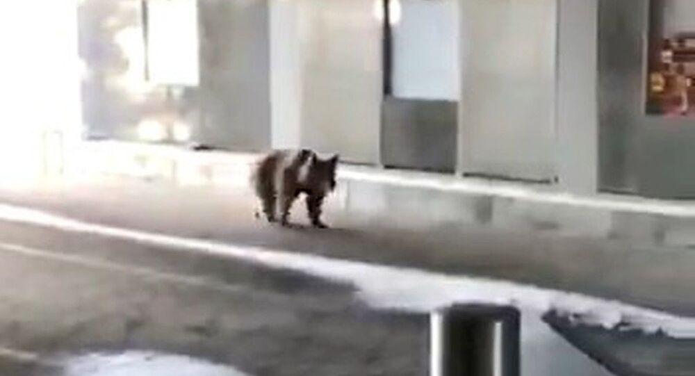 Uludağ'da aç kalan ayılar teleferiğe indi