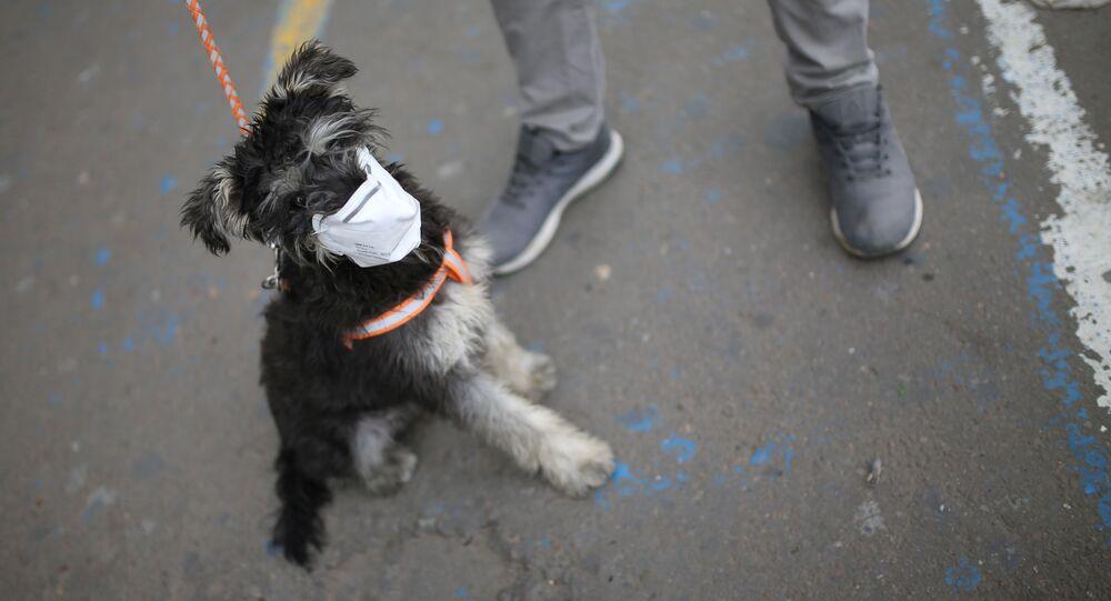 Maskeli köpek, Kolombiya.
