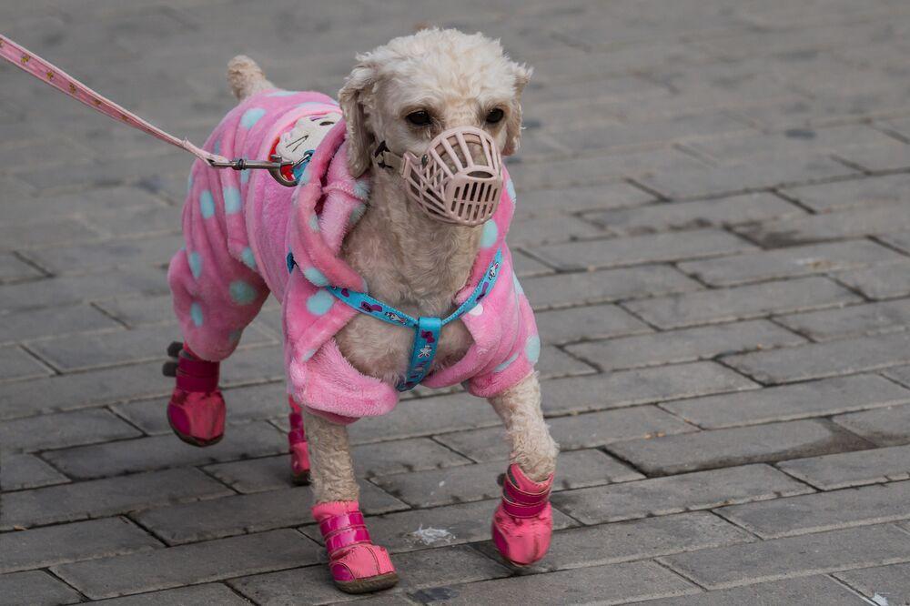 Çin'in başkenti Pekin'de maske ve ayakkabıyla gezdirilen bir köpek.