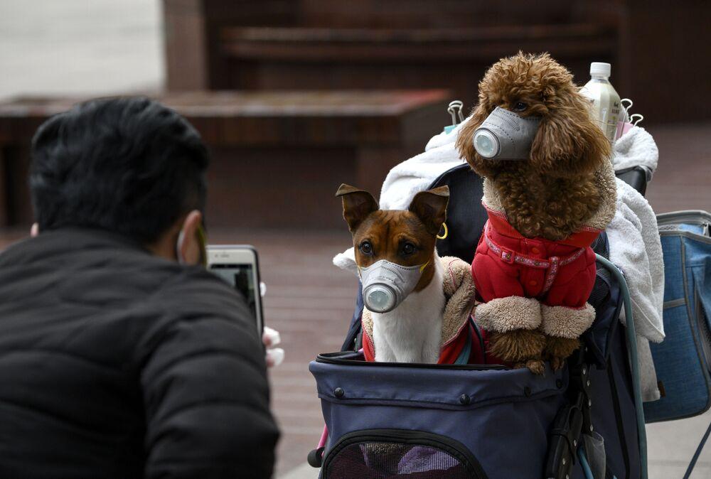 Çin'in Şanghay kentinde bir adam maskeli köpekleri görüntülerken