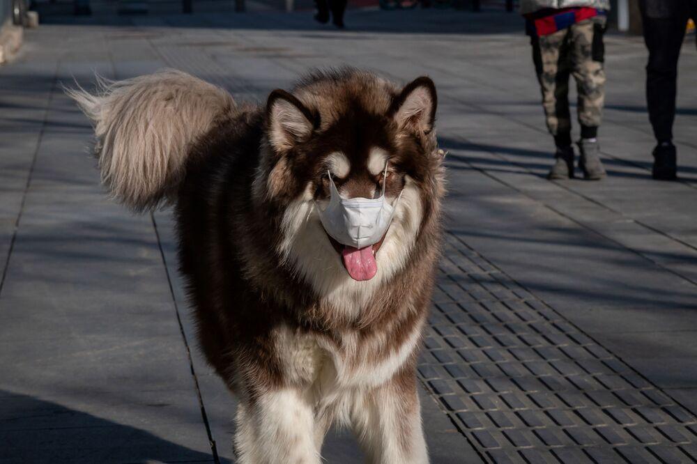 Çin'in başkenti Pekin'de gezdirilen maskeli köpek.