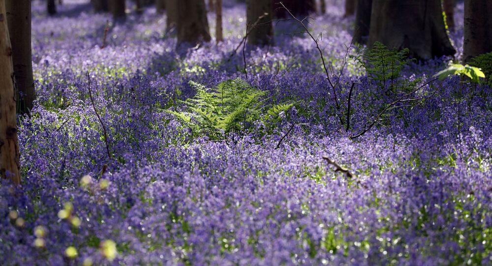 Belçika'nın Halle kenti yakınındaki 'Mavi Orman', nisan ortası açan çiçeklerle maviye döndü, ama koronavirüs pandemisi nedeniyle turistlere kapatıldı.