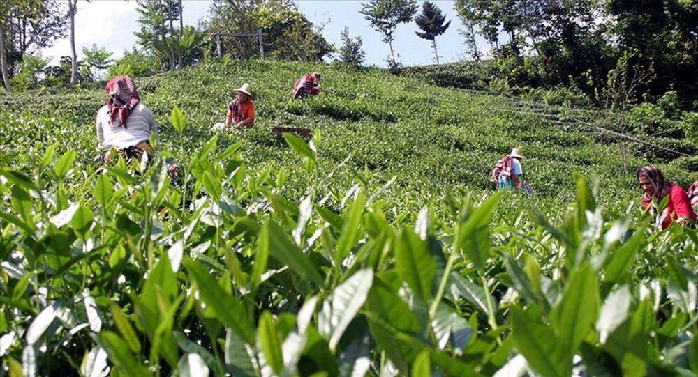 Yaş Çay üreticileri